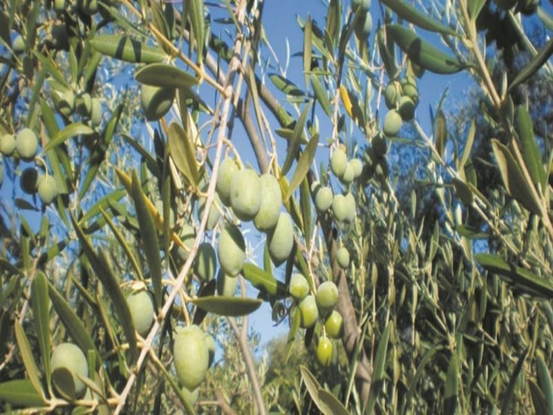 Production record d'olives Lancement officiel de la campagne agricole 2018-2019 à partir de la commune Tameslouht